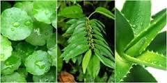 Gambar Obat Herbal Untuk Ambeien Luar Yang Mujarab