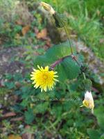 http://ilnomedeifiori.blogspot.com/2017/10/grespigno-comune-fiori-gialli-autunnali.html