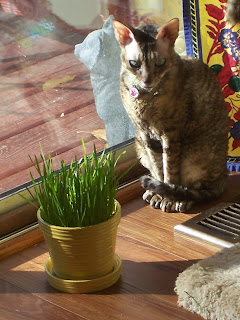 Coco Cornish Rex Sunny Window with Cat Grass