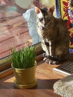 Coco Cornish Rex Sunny Window with Cat Grass