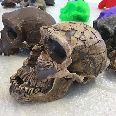 Cast of a Neanderthal (Homo neanderthalensis) skull