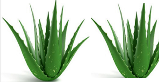 Home remedies for sebaceous cyst removal - Aloe Vera
