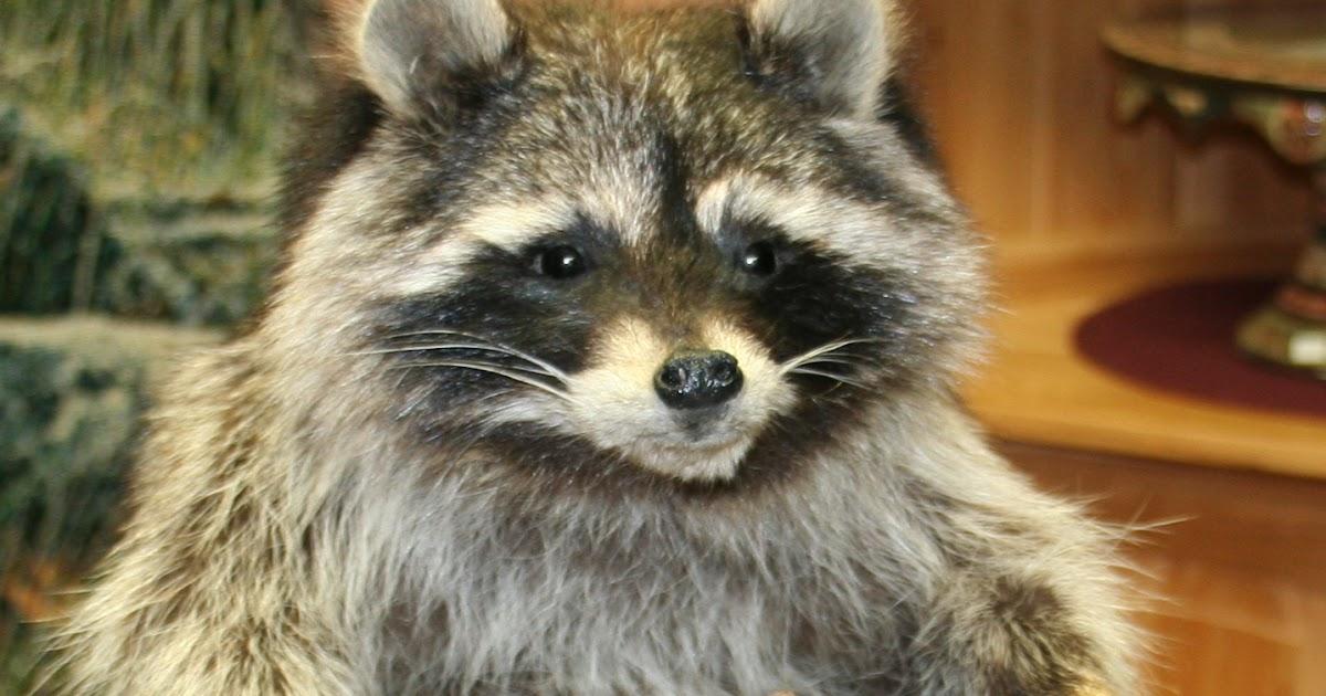 Raccoon Penis 69