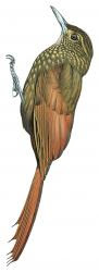 Deconychura typica