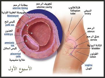 مراحل تكوين الجنين،مراحل نمو الجنين ،مراحل الحمل ،مراحل نمو الجنين بالاشهر،مراحل تكوين الجنين بالتفصيل،مراحل تكوين الجنين بالاسابيع،مراحل تكوين الجنين شهر بشهر،مراحل نمو الجنين أسبوع بأسبوع