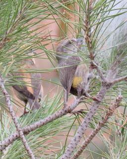 Piquituerto en nido de procesionaria