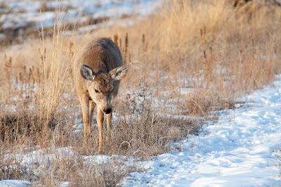 Mule deer doe, Rocky Mountain Arsenal National Wildlife Refuge