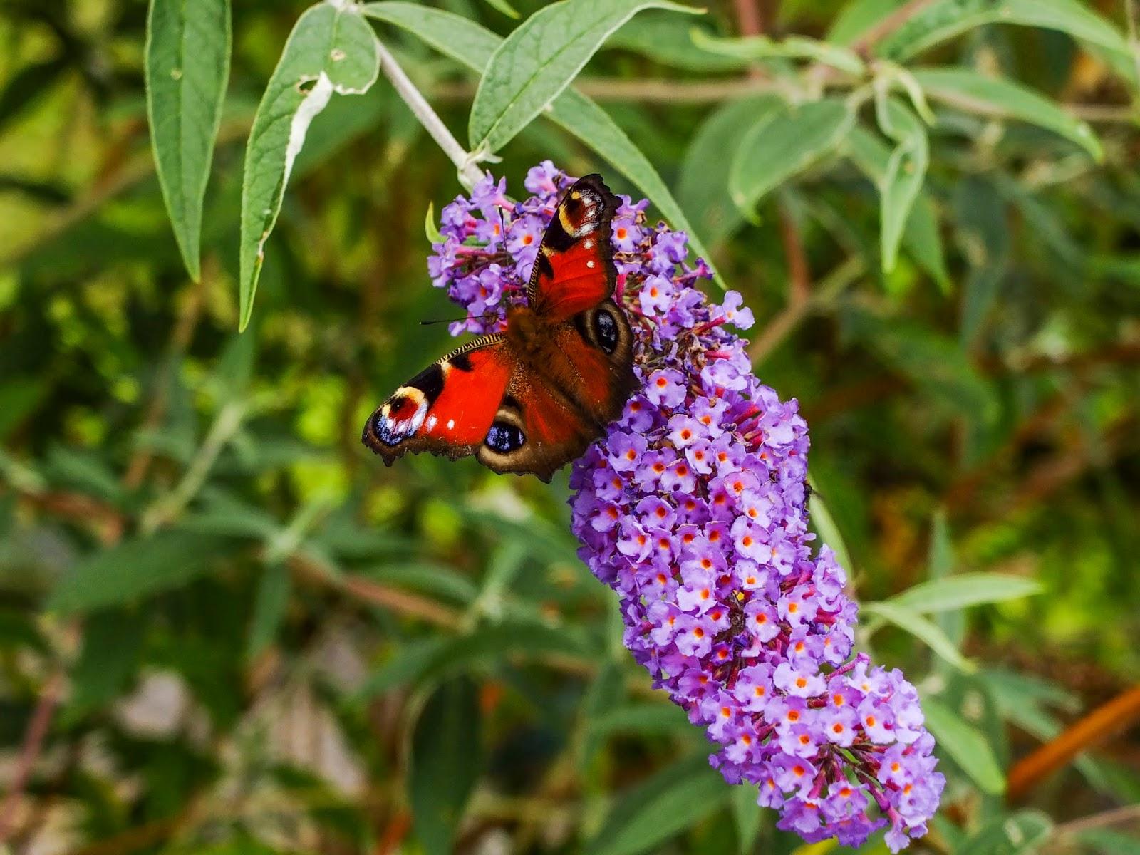 A butterfly sitting on a purple butterfly bush flower cone.