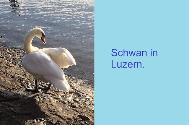 Schwan in Luzern am Seeufer