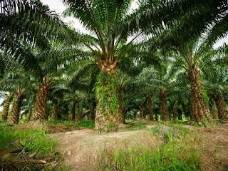 sejarah-kelapa-sawit-indonesia.jpg