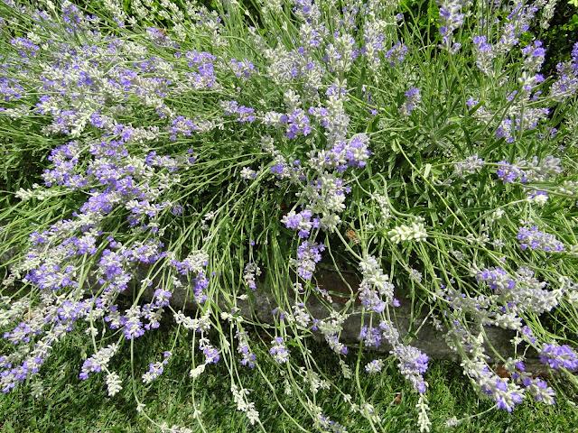 Lavender The Camellia