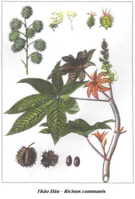 Thầu Dầu - Ricinus communis - Nguyên liệu làm thuốc Nhuận Tràng và Tẩy