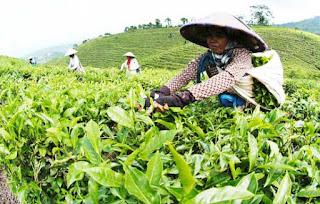 agrowisata kebun teh di jember