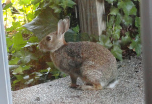 This hare liked to spend its evenings on our bedroom patio in Texas.