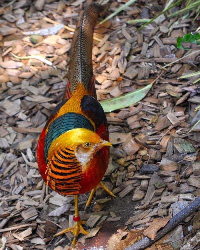 Golden Pheasant Birds HD Wallpapers