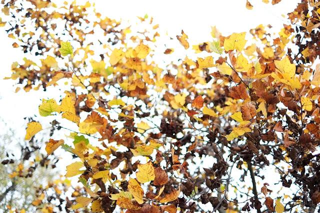 Foglie di tiglio in autunno in controluce