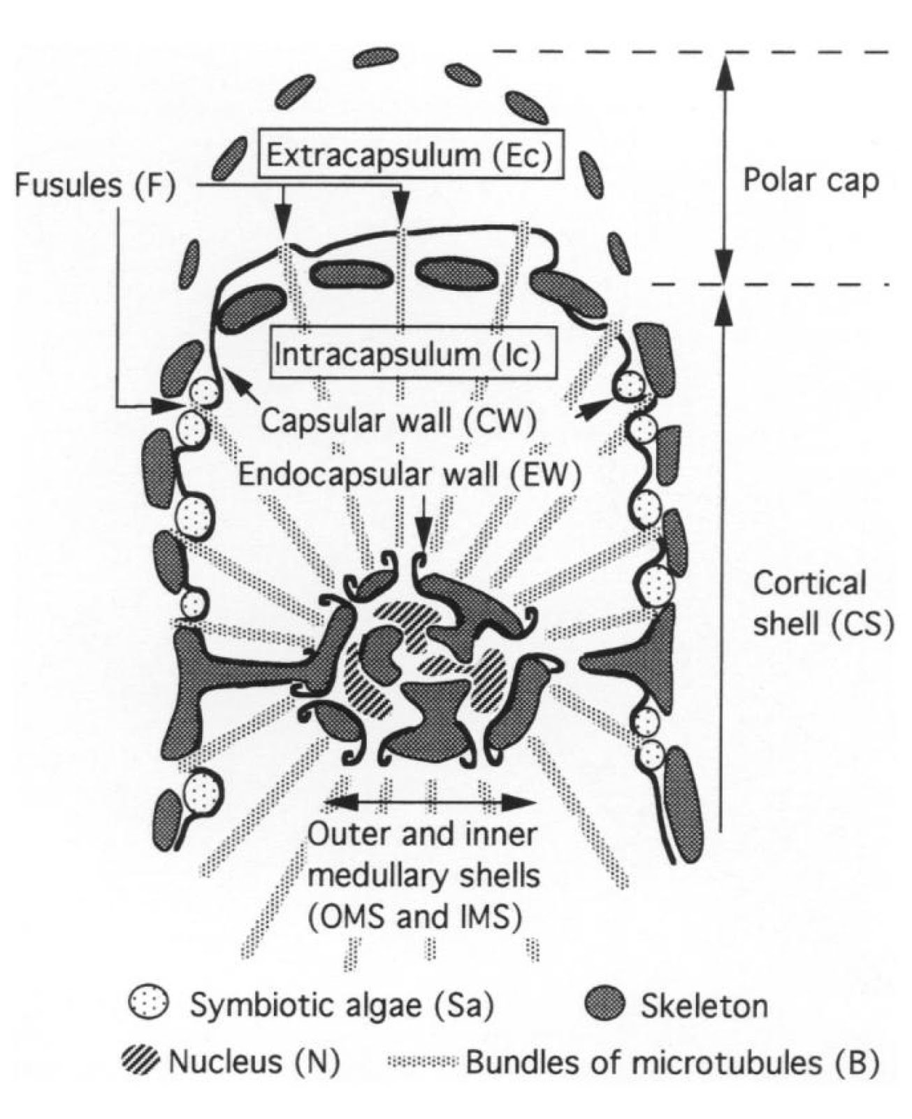 hight resolution of extension and contraction of the axopodia may also help maintain the radiolarian s position in the water column cachon et al 1990