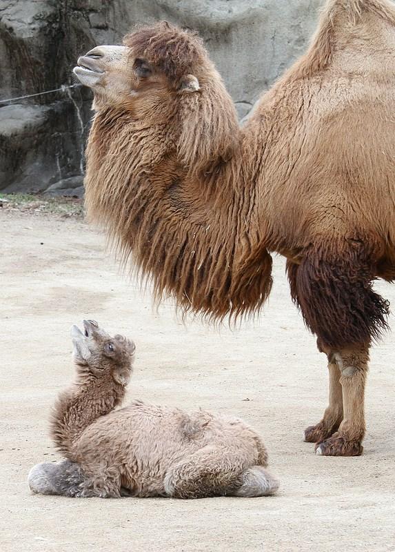 Baby Animals: Camel - Calf 2