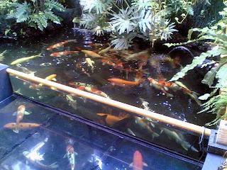 kolam ikan koi minimalis   jual ikan koi blitar