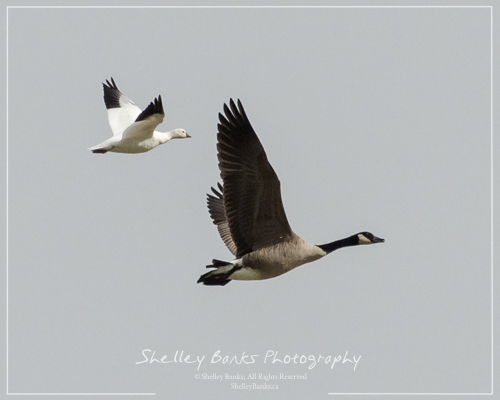 Ross's Goose with Canada Goose. Copyright © Shelley Banks, all rights reserved.