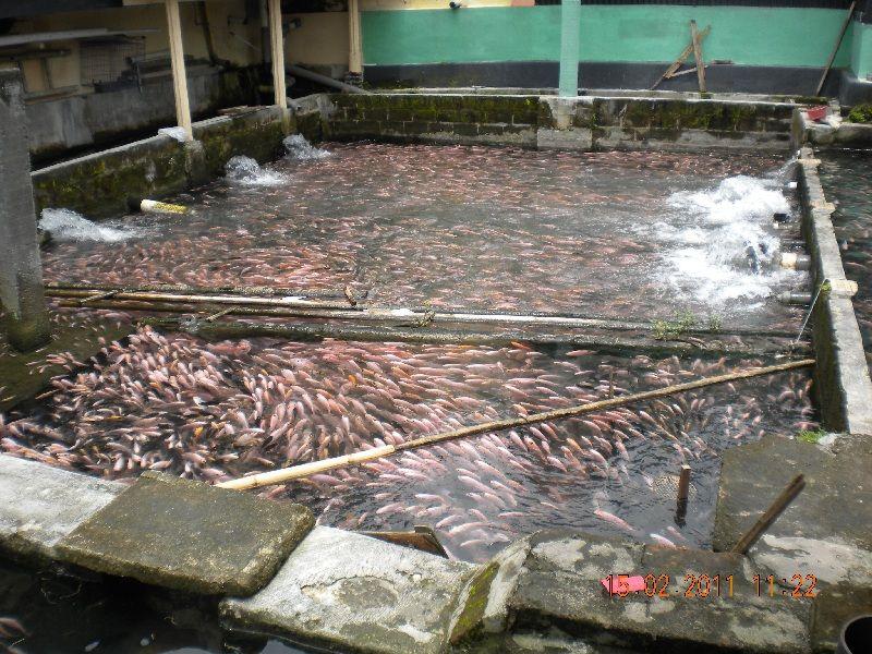 budidaya ikan nila merah di kolam beton