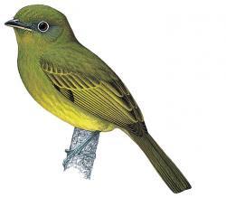 Eye-ringed Flatbill