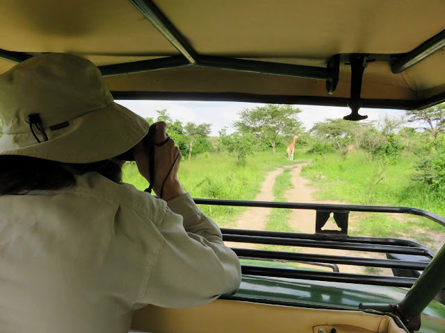 Watching a Rothschild giraffe in Lake Mburo National Park in Uganda