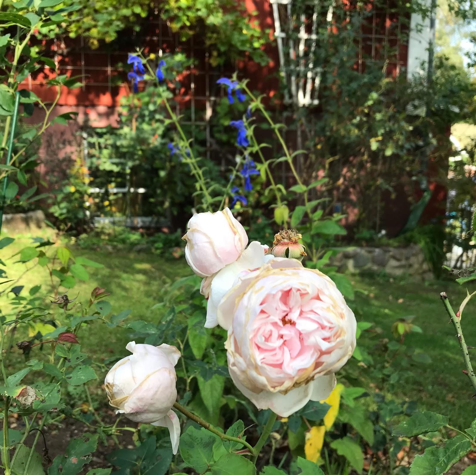 Sativa Rose sprutande