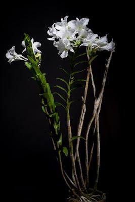 Dendrobium sanderae care and culture