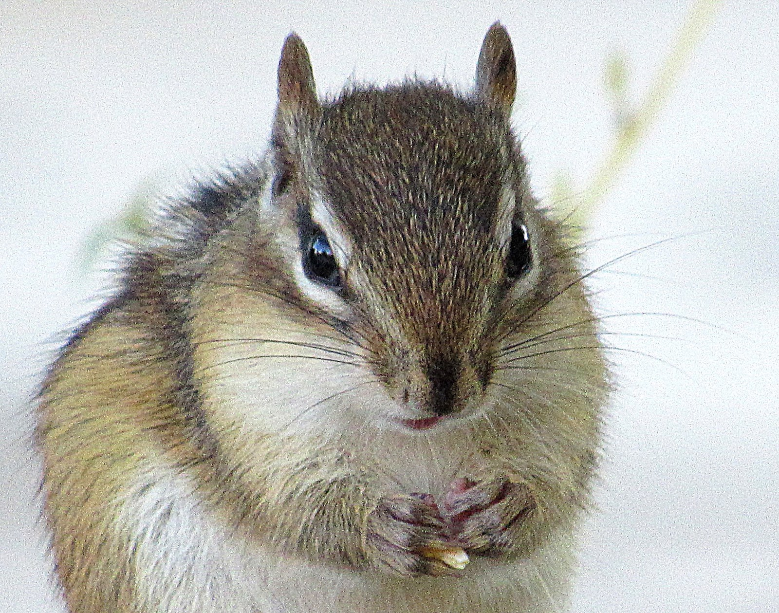 Northview Diary: Foiled by Chipmunks