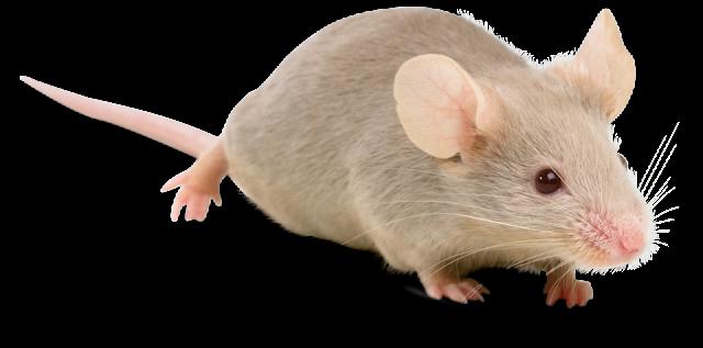 صور فأر , معلومات عن الفأر واشكاله بالصور