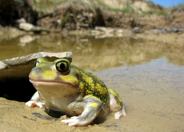 Leopard Frog - Facts, information and pictures 1
