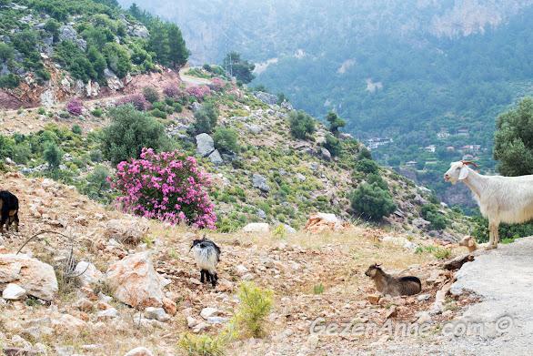 Kelebekler Vadisi manzarasının tadını çıkaran keçiler, Faralya Fethiye