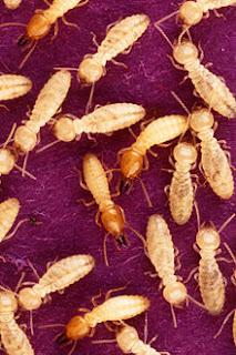 Termites -image:en.wikipedia.org