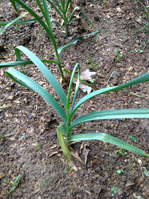 hard necked garlic growing scapes
