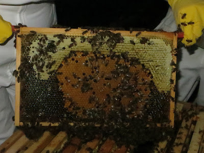 Healthy brood pattern.