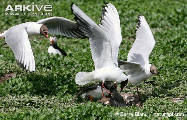 interactions between aquatic birds black headed gull