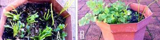 How To Regrow Plants From Scraps - growing coriander from roots