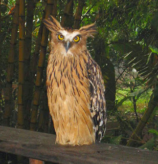 Harga burung hantu buffy fish owl