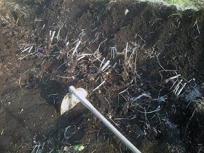 ヤーコンの種イモの植え付け
