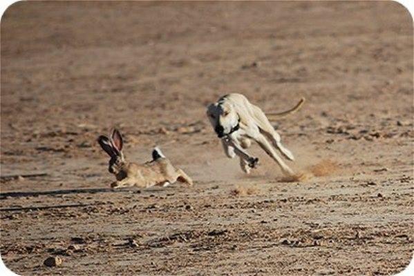 Bạn bỏ ra toàn bộ sức lực hay mới cố hết sức? Bài học từ câu chuyện chó săn và chú thỏ