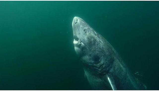 Γροιλανδία: Ψάρεψαν καρχαρία 512 ετών