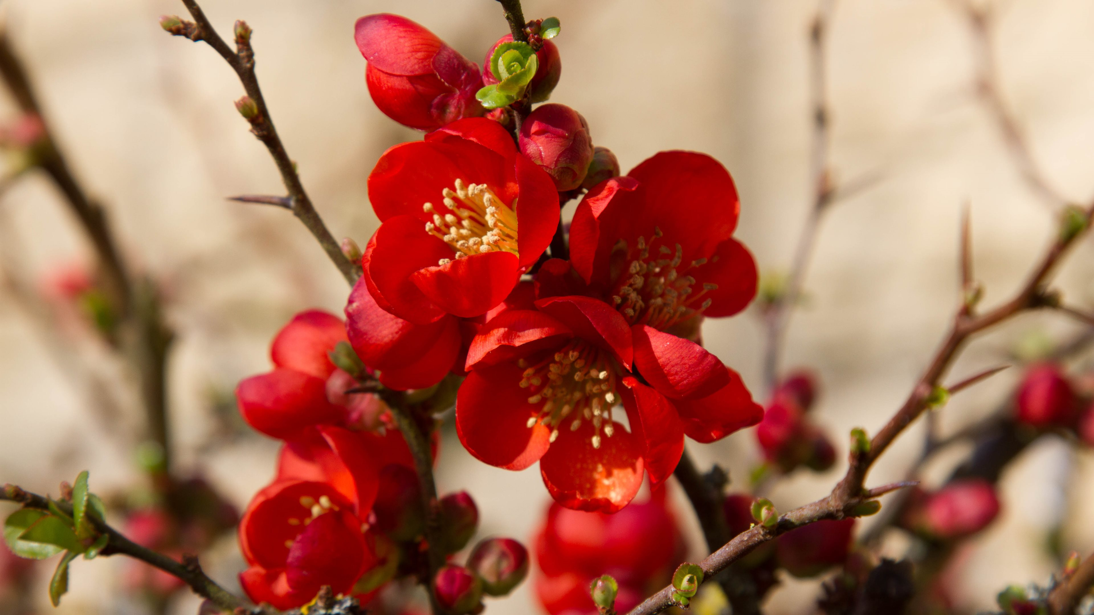 the japanece quince The japanese quince has 57 ratings and 7 reviews a book about a japanese quince.