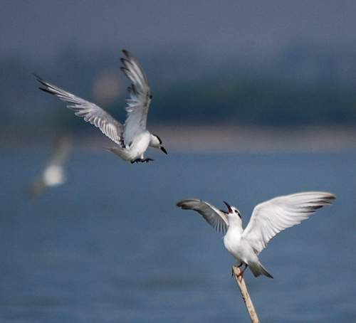 Birds of India - Photo of Common gull-billed tern - Gelochelidon nilotica