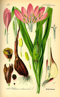 An old colored scientific sketch of Meadow Saffron or Colchicum autumnale. A tall upright growing plant with a single pink flower with several large petals.