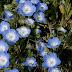 Hoa Mắt xanh- Five spot wildflowers