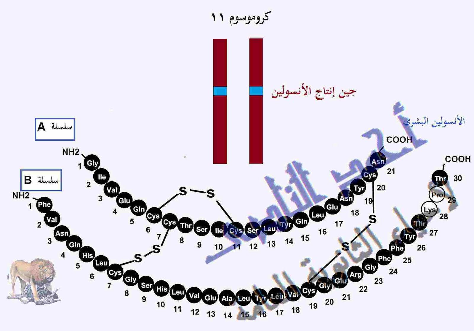 فك شفرة الجينوم البشرى GENOME   -  الحمض النووى DNA – الهندسة الوراثية - الأنسولين - أحياء الثانوية العامة – مدونة أحمد النادى