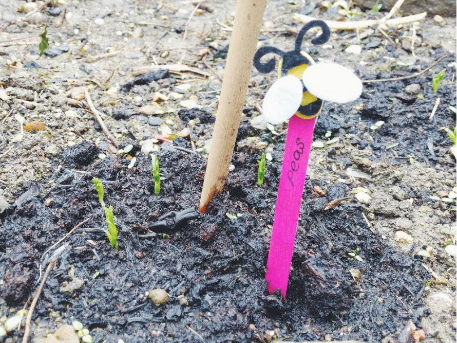 coloured-plant-label-in-ground-by-pea-shoots