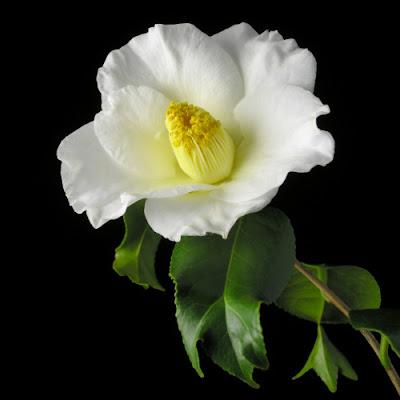 Hoa trà 1