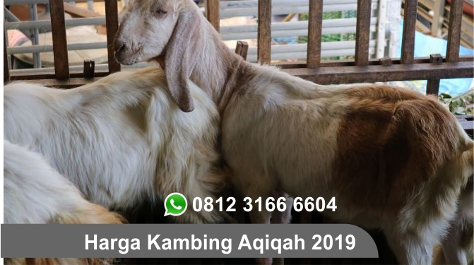 Harga Kambing Aqiqah 2019